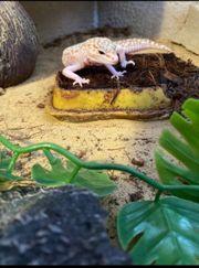 Leopardgecko weiblich sehr zutraulich etwas