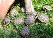 Griechische Landschildkröten priv Nachzuchten 2020