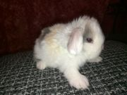 Tolle Mini Lop Kaninchen Babys