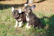 Französische Bulldog Welpen black tan