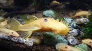 Junger L144 Goldancistrusbock ca 8cm