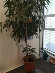 große Zimmerpflanze Ficus-Gattung in Erde