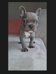 Französische Bulldogge mit AHNENTAFEL
