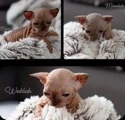 Wunderschöne Sphynx Kitten