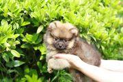Super süße Pomeranian Zwergspitze