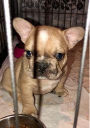 Französische Bulldoggen Welpen Sonder Farben