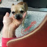 Mini Chihuahua Rüde nur an
