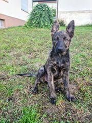 Schäferhund Welpe 10 wochen Hündin