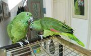 Papagei Gelbnackenamazonenpaar zahm und sprechend