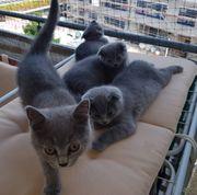 BKH SF Kitten m w