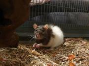 Rattenweibchen inkl Käfig zu verschenken