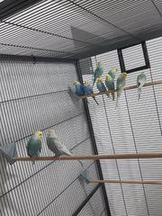 Rainbow Wellensittiche Nestjunge und Zuchtreife