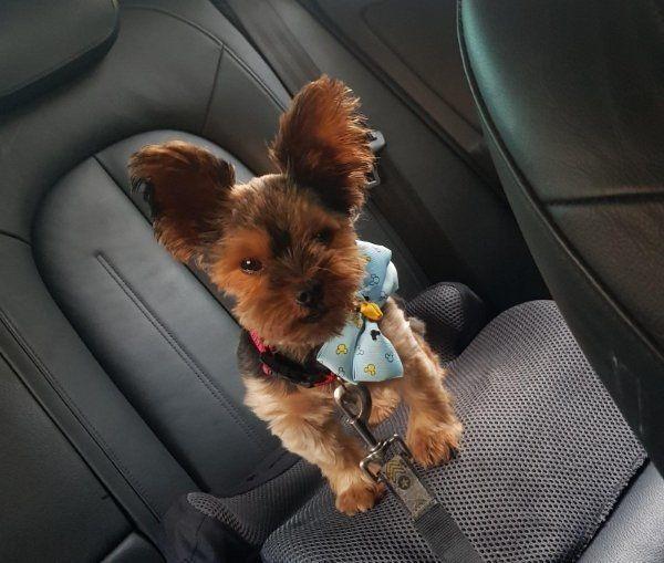 yorkshire Terrier Deckrüde