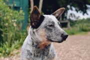 Australian Cattle Dog Welpen