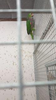 Taubenhalsamazone weiblich