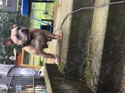 Französische Bulldoggen Hündin