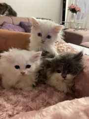 3 Perser kitten