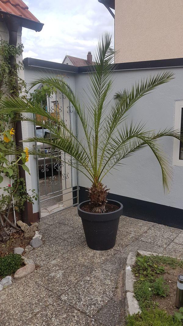Palme Canarische Dattelpalme