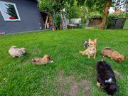 Chihuahua Pomeranian mix babys