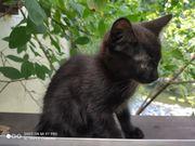 Edelmix-Kitten schwarz Langhaar