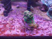 Meerwasser Korallen Tubastrea Favia