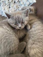 Britisch Kurzhaar kitte