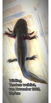 Axolotl - private Nachzuchten