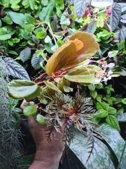 Begonia blancii bipinnatifida seltene Begonie