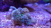 Top Meerwasser Korallen Ableger