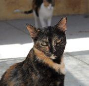 ABRA - Tolles Katzenmädchen sucht Familienanschluss