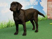Neugierige Labrador Welpen
