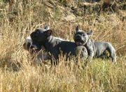 Französische Bulldog Welpen in BLAU