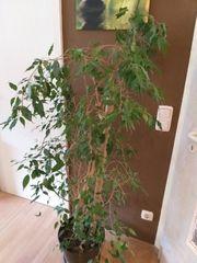 Ficus Benjamin Pflanze