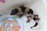 Hemitheconyx caudicinctus- afrikanischer Fettschwanzgecko