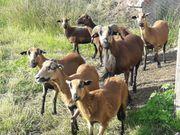 Kammerunschafe trächtige Muttertiere und Jungtiere