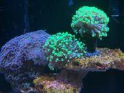 wunderschöne Meerwasser euphylia und Scheibenanemonen