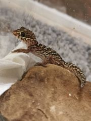 1 0 Madagaskar Großkopfgecko Paroedura