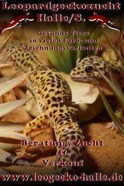 Regelmäßig Leopardgeckojungtiere aus Zucht zur