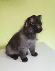 Ragdoll Waldkatze Langhaar Kitten Ferdinand