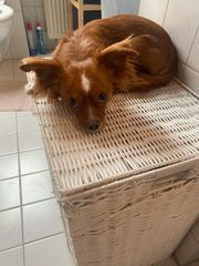 Pinscher Chihuahua Mix Deckrüde kein