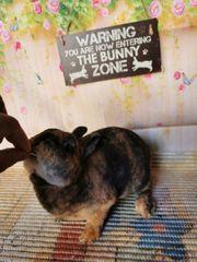 Zwergrex Kaninchen geimpft