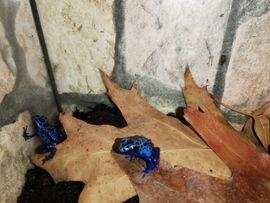 Blauer Baumsteiger lat Dendrobates azureus: Kleinanzeigen aus Altötting - Rubrik Reptilien, Terraristik