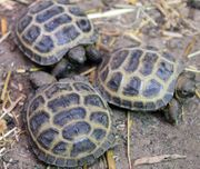 Steppenschildkröte Vierzehenschildkröte - Testudo horsfieldii - NZ21