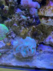 Meerwasser Korallenstöcke und Ableger ab