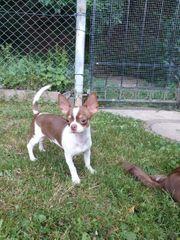 Wunderschönen Chihuahua Rüde Welpe mit