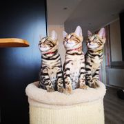 reinrasige Bengal Kitten mit Stammbaum