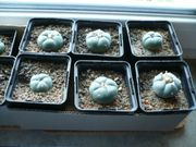 Peyote Kaktus lophophora williamsii