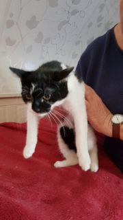 weibliches Kitten sucht neues Zuhause