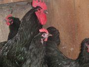 Hühner Australorps schwarz blaugesäumt und