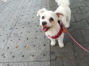 Deckrüde Mini Bichon Malteser KEIN